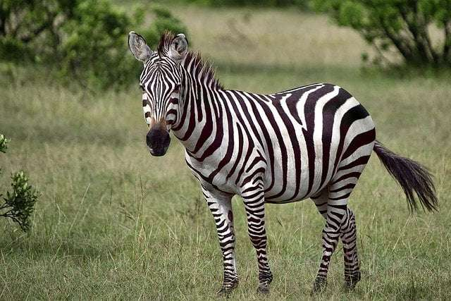 Fun fact 7_ a picture showing a zebra with his stripes