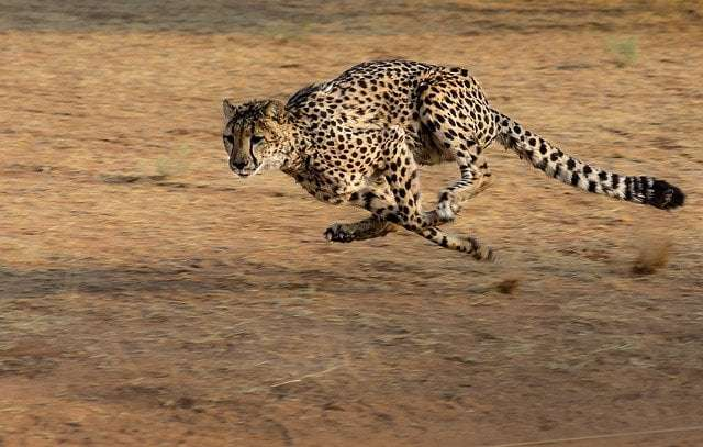 a picture showing a cheetah on high speed