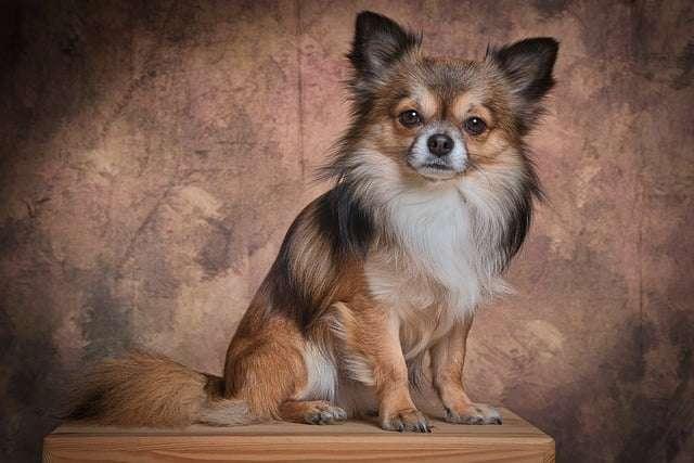 Small dog breeds- Chihuahua