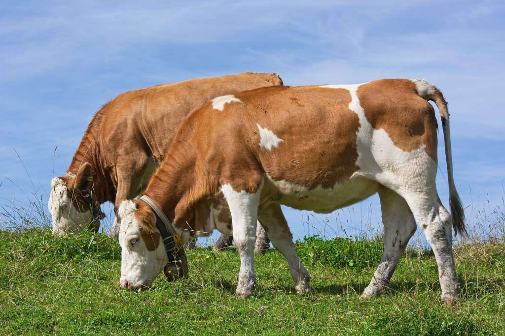 cattle grazing - a cow is an example of a ruminant animal