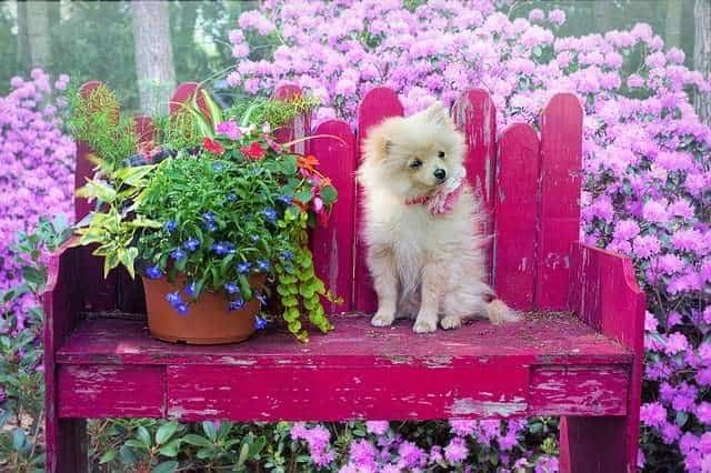 Small dog breeds- Pomeranian Dog also known as Loulou or Dwarf Spitz