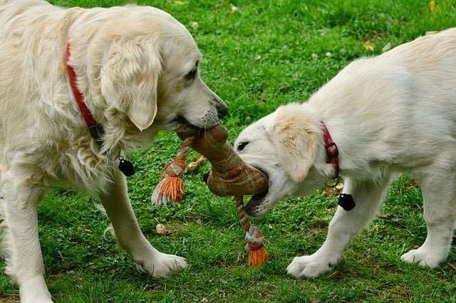 Parvo in dogs can be transmitted to another dog when it comes in contact with a belonging of an infected dog