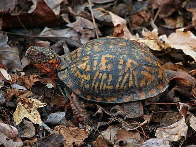 a picture of a box turtle