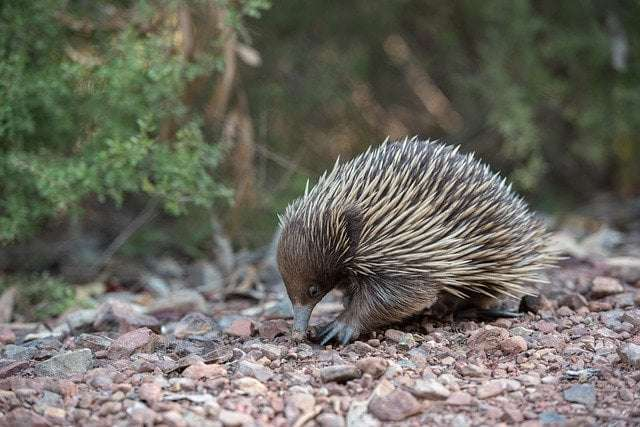 a picture showing Echidnas- hibernation in these animals involves them staying in burrows