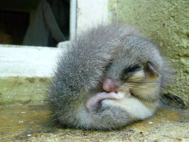 a picture of a Dormouse- hibernation in these dormice animals involves them making a nest on he forest ground and hibernating in it