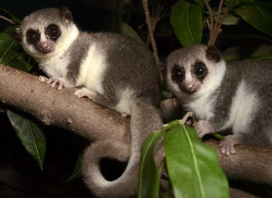 a picture of a Fat-tailed dwarf lemur
