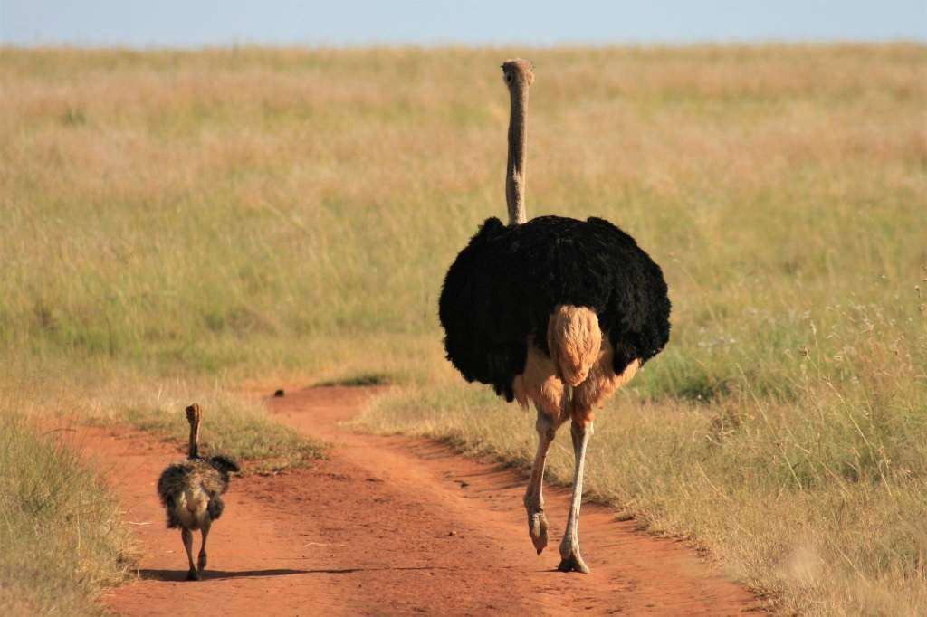 A picture showing Ostriches, the largest and tallest bird