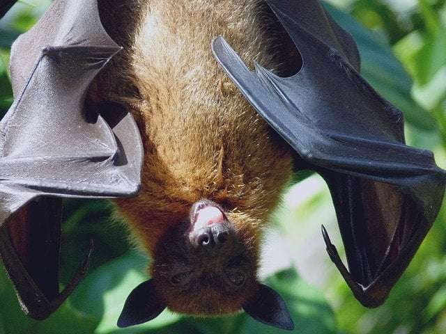 animal fact 2- a picture showing bats, the only flying mammal