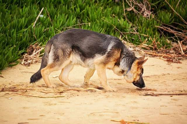 parvo in dogs can be contacted when the dog goes sniffing or licking any feces of an infected dog