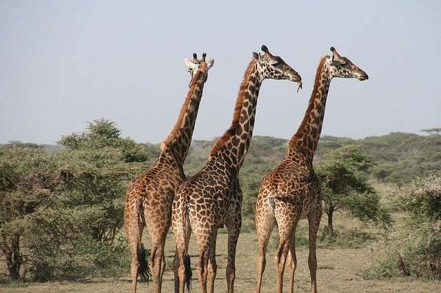 Animal fun facts 4- a picture showing giraffes, the tallest land animal