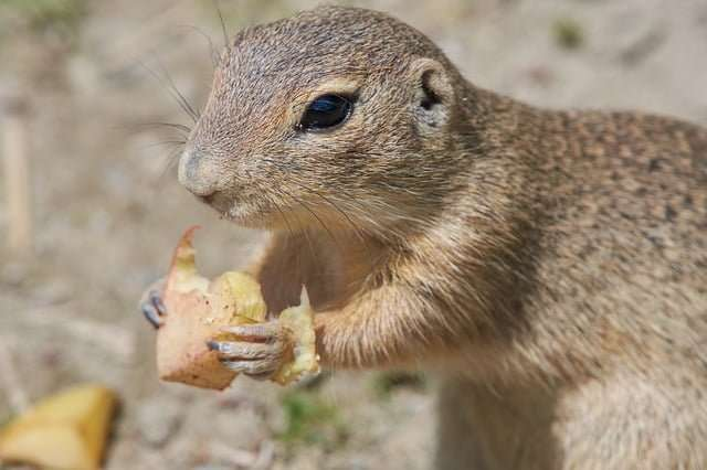 a picture of a ground squirrel - Hibernation in these animals involves stashing up food and sleeping during the winter