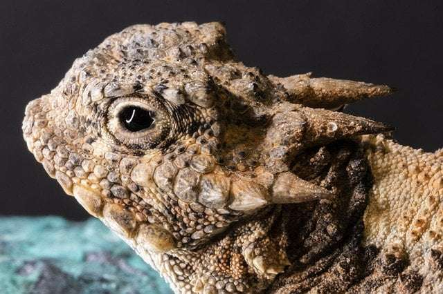 Animal Fun fact 14 - a picture of a horned lizard that squirts blood from its eyes