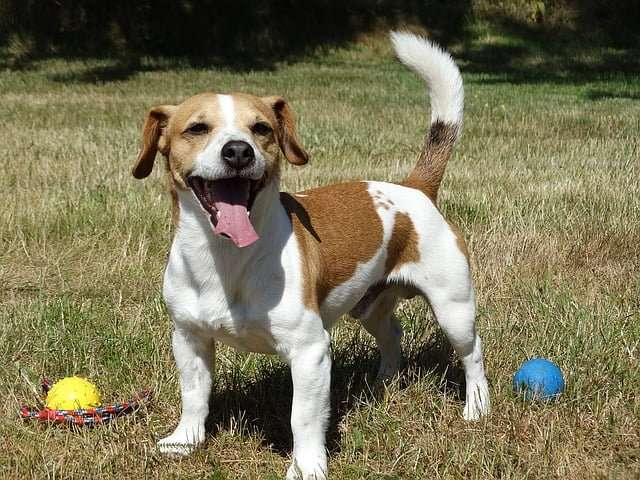 small dog breeds- Jack Russell Terrier