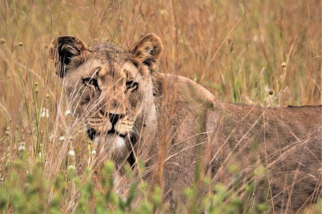 a picture showing a lioness that does 90% of the hunting