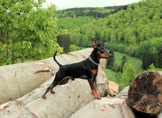 Small dog breed- A picture of a miniature Pinscher