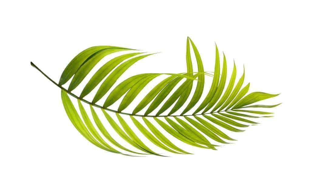 palm plant leaf green botany