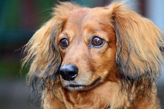 Small dog breed - Dachshund