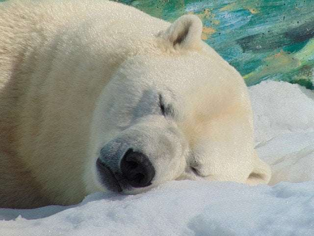 A picture of a bear sleping in winter