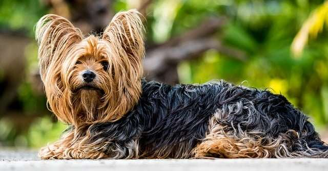 Small dog breeds _ Yorkshire terrier